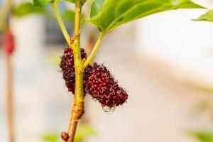 Mûrier frais, mûres noires mûres et rouges mûres non mûres accrochées à une branche photo