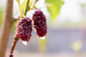 Mûrier frais, mûres noires mûres et rouges mûres non mûres accrochées à une branche