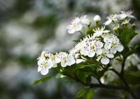 fleurs blanches d'aubépine photo