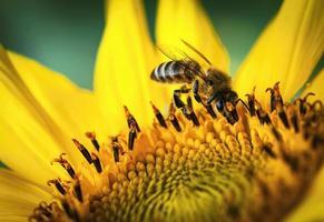 abeille sur tournesol photo