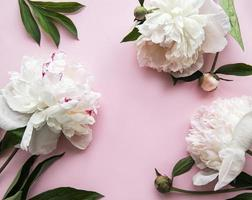 fleurs de pivoine sur fond rose pastel photo