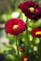 fleurs de marguerite rouge