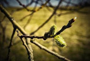 bourgeons de fleurs de saule