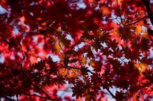 Feuilles d'érable rouge sur un arbre dans une forêt photo