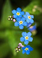 fleurs bleues myosotis photo