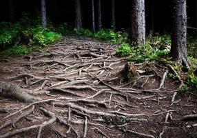 racines d'arbres entrelacées
