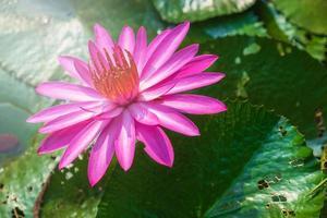 fleur de lotus dans un étang photo