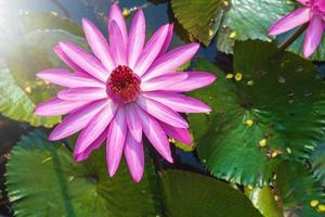 fleur de lotus rose photo