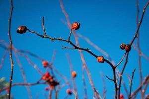 fruits rouges contre le ciel bleu photo