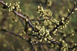 branches de prunellier avec bourgeons photo