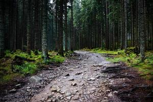 forêt d'épinettes sombres après la pluie photo