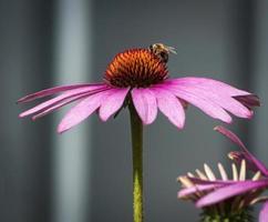 abeille sur fleur d'échinacée photo