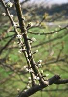bourgeons sur une branche d'arbre