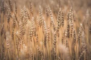 Vue rapprochée d'un champ de blé prêt pour la récolte