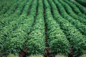 Grand champ de pommes de terre vertes avec des plantes en belles rangées