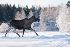 Orignal femelle au trot dans la neige