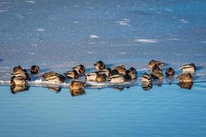 Groupe de canards colverts sur glace photo