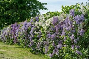 haie avec lilas blanc et violet dans la lumière du soleil d'été
