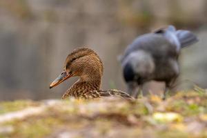 Canard colvert femelle avec un corbeau gris en arrière-plan