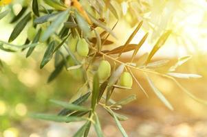 Olives vertes sur une branche d'olivier dans le jardin photo