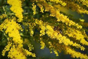 fleur de verge d'or jaune photo