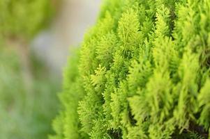 Fond de gros plan de belles feuilles de Noël vert des arbres de thuya photo