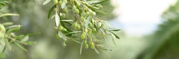 Olives vertes poussant sur une branche d'olivier dans le jardin photo
