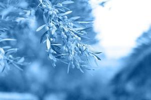 Olives poussant sur une branche d'olivier dans le jardin photo
