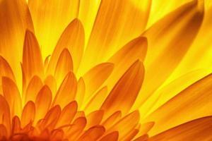 pétales de fleurs de gerbera