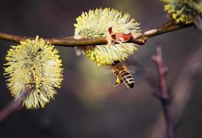 abeille sur une fleur de saule photo