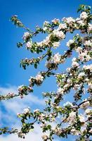 fleurs de pommier sur une branche