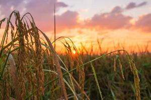 coucher de soleil sur une rizière