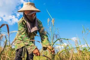 agriculteur récolte du riz