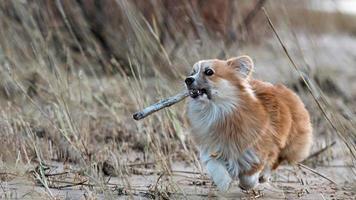 Chiot Welsh Corgi court autour de la plage et joue avec un bâton photo