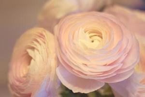 Fleurs de renoncule rose se bouchent avec un arrière-plan flou photo