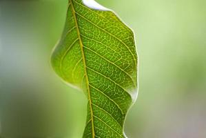 Gros plan de la feuille verte de mangue photo