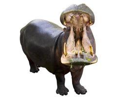 Hippopotame ouvrant sa bouche isolé sur fond blanc