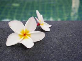 fleurs de frangipanier au bord de la piscine photo