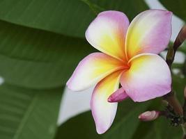 fleur de frangipanier plumeria close-up photo