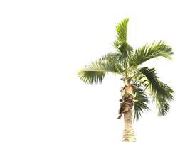 palmier isolé sur fond blanc photo