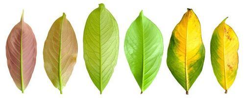 feuilles de pommier de montagne sur fond blanc photo