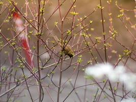 tomtit sur une branche photo