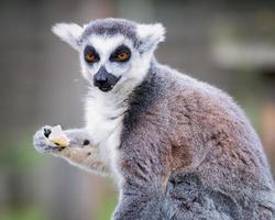 Portrait de lémurien mangeant une pomme