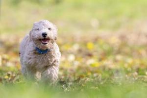 Portrait de chiot poochon s'exécutant dans l'herbe verte