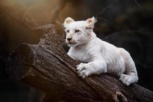 lion d'Afrique du Sud photo