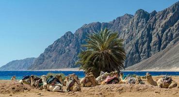 chameaux sur une plage photo