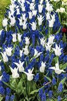 fleurs blanches et lupins bleus