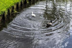 un canard blanc et colvert nageant dans un étang