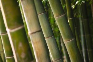 gros plan de la forêt de bambous verts photo