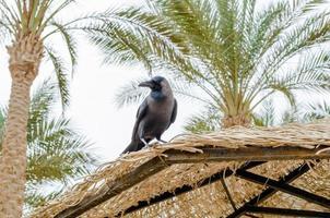 choucas sur le bord d'un parapluie de palmier photo